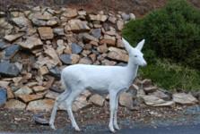 Our Mountain Town - Albino Deer
