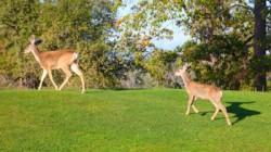 Pine Mountain Lake - Deer on Golf Course