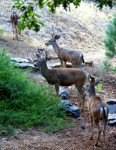 Recreation and Nature - Deer in Yard